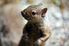 Free Squirrel Closeup Stock Photo - 14553060