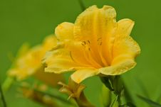 Free Yellow Day-lilly Stock Photos - 14553523