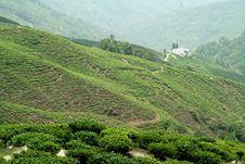 Free Tea Estate Royalty Free Stock Photo - 14553735