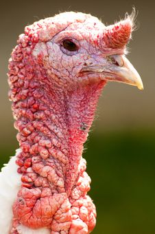 Free Strutting Turkey Royalty Free Stock Image - 14554276