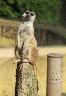 Free Meerkat (Suricate) Stock Photos - 14554283
