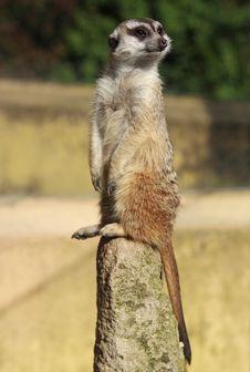 Free Meerkat (Suricate) Stock Images - 14554304