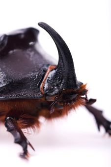 Free Rhinoceros Beetle Royalty Free Stock Photos - 14554358