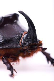 Rhinoceros Beetle Royalty Free Stock Photos
