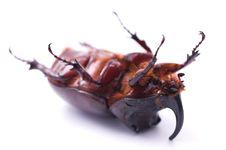 Free Rhinoceros Beetle Stock Image - 14554391