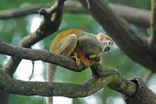 Free Squirrel Monkey Stock Image - 14554511