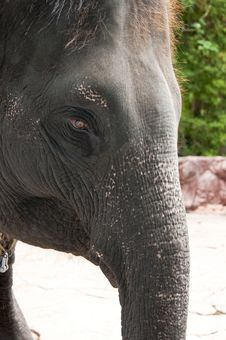 Free Close Up Of Elephant S Head Royalty Free Stock Photography - 14555027