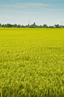 Free Rice Field Stock Photography - 14555492