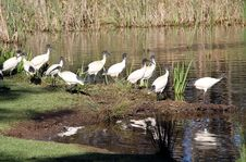 Free Australian White Ibis Royalty Free Stock Images - 14555519