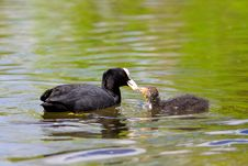 Free Coot Feeding Her Young Chick Royalty Free Stock Image - 14555546