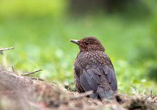 Free Eurasian Blackbird Royalty Free Stock Photography - 14555567