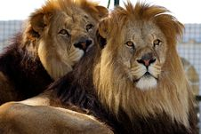 Free Two Male Lions Stock Photography - 14555572