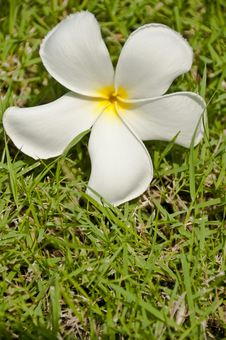 Free White Plumeria Flower On Green Grass Royalty Free Stock Photography - 14555697