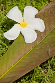 White Plumeria Flower With Leave Royalty Free Stock Photo