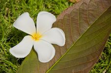 Free White Plumeria Flower On Grass Stock Photos - 14555713