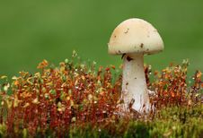 Free Mushroom - White Toadstool In Moss Stock Photo - 14555800