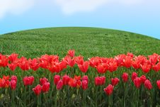 Free Tulips Field In Sunny Morning Stock Image - 14556181