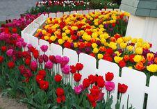 Free Tulips Garden Stock Photo - 14556260
