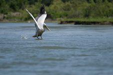 Dalmatian Pelican Taking Off Royalty Free Stock Image