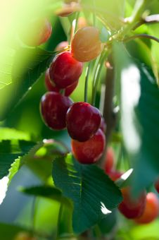 Free Cherry S On Branch Royalty Free Stock Image - 14557966