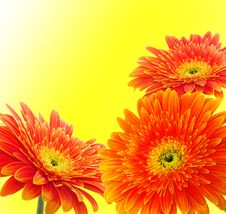 Free Orange Gerbera Stock Images - 14558454