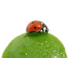 Free Ladybug On  Leaf Royalty Free Stock Images - 14559159