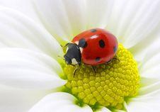 Free Ladybird Stock Photo - 14559180