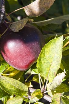 Free Apple Tree Branch Stock Photos - 14559193