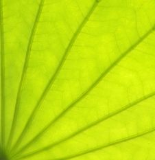 Free Closeup Of Single Beautiful Lotus Leaf Stock Photos - 14559713