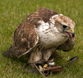 Free Falcon Stock Image - 14568211