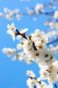Free Flowers Of An Apricot Tree Royalty Free Stock Image - 14560736