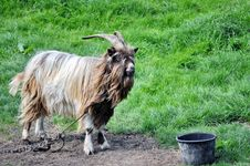 Free Chained Goat Royalty Free Stock Photos - 14560848