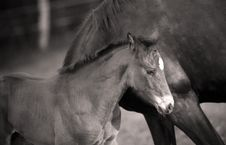 Foal Running With Mother Stock Photo