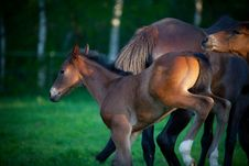 Free Foal Kicking Stock Images - 14561704