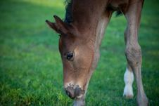Free Foal Grazing Royalty Free Stock Photography - 14561797