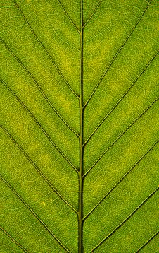 Free Leaf Closeup Royalty Free Stock Photography - 14561857
