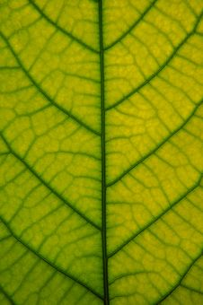 Free Leaf Closeup Stock Image - 14561901