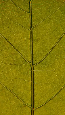 Free Leaf Closeup Stock Image - 14561981