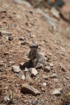 Free Small Ground Squirrel Stock Photography - 14562062