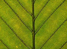 Free Leaf Closeup Royalty Free Stock Photos - 14562158