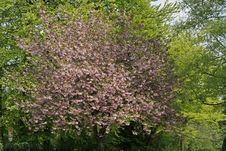 Free Japanese Cherry Tree In Spring, Germany Royalty Free Stock Photos - 14564528