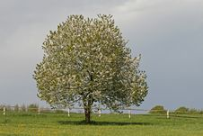 Free Cherry Tree In Spring, Lower Saxony, Germany Royalty Free Stock Photos - 14564558