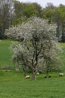 Free Cherry Tree In Spring With Sheeps, Germany Royalty Free Stock Image - 14564596