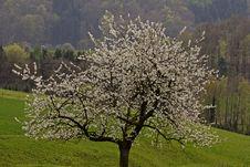 Free Cherry Tree In Hagen, Germany Stock Photos - 14564633
