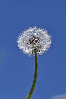 Free Dandelion Royalty Free Stock Photos - 14564708