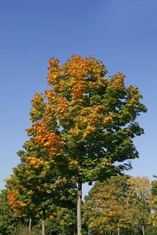 Free Maple Tree (Acer) In Autumn Royalty Free Stock Photo - 14564765