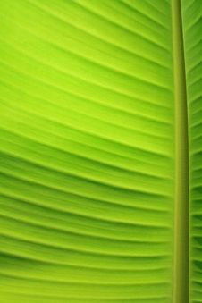 Free Banana Leaf Stock Images - 14564874