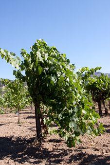 Free Napa Valley Vineyard Stock Photos - 14564963