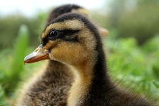 Free Duckling Royalty Free Stock Image - 14565766