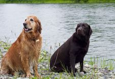 Free Golden And Labrador Retriever Stock Photo - 14566330
